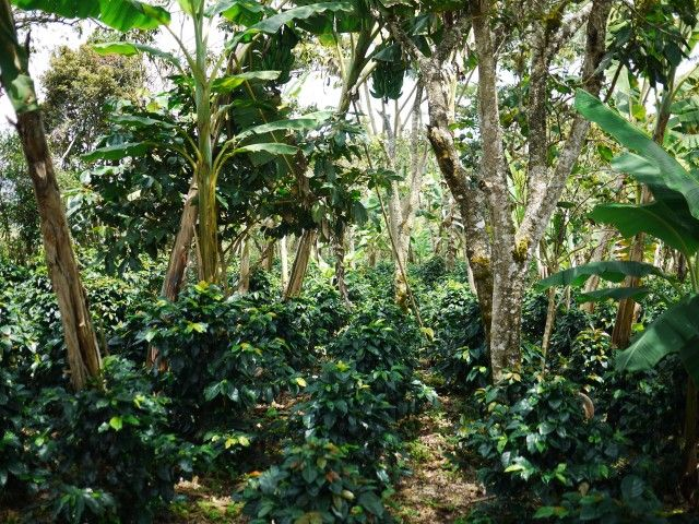 Jungle #coffee here in #colombia