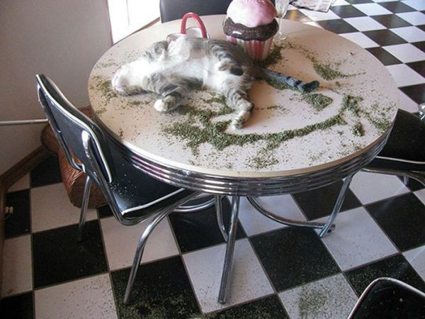 25 funny cats high on catnip. Urban Dictionary defines catnip as a rare species of the mint family and it makes cat's do stuff. really funny stuff!!