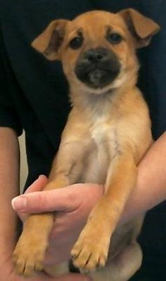 Pictures of 156293 a Chihuahua for adoption in Bakersfield, CA who needs a loving home.