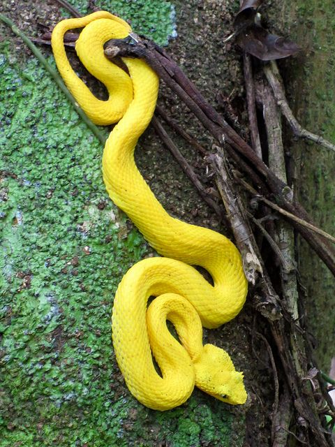 """Eyelash Viper by tylerkaraszewski on Flickr. """"It's amazing how hard it is to find a bright yellow snake. They're supposed to be poisonous, but they're real mellow, so you don't need to worry about getting bitten unless you start poking the snake or picking it up."""""""