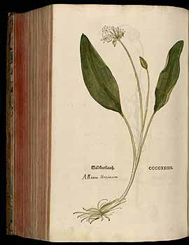 184839 Allium ursinum L. / Fuchs, L., New Kreüterbuch, t. 424 (1543)