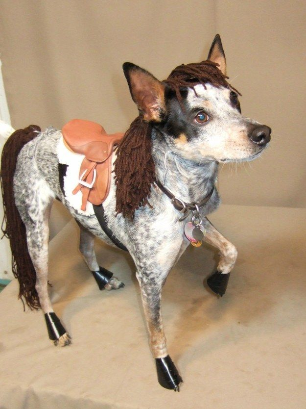 """I'm a horse."" A blue heeler - cattle dog, dressed for Halloween in her horse outfit! (horse costume)"