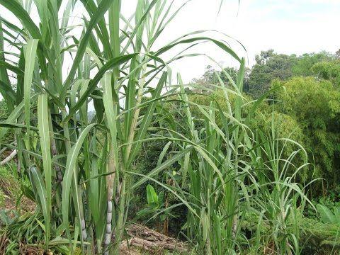 Twitter @juangangel La caña de azúcar requiere altas temperaturas durante el período de crecimiento y bajas temperaturas durante el período de maduración. Mi...