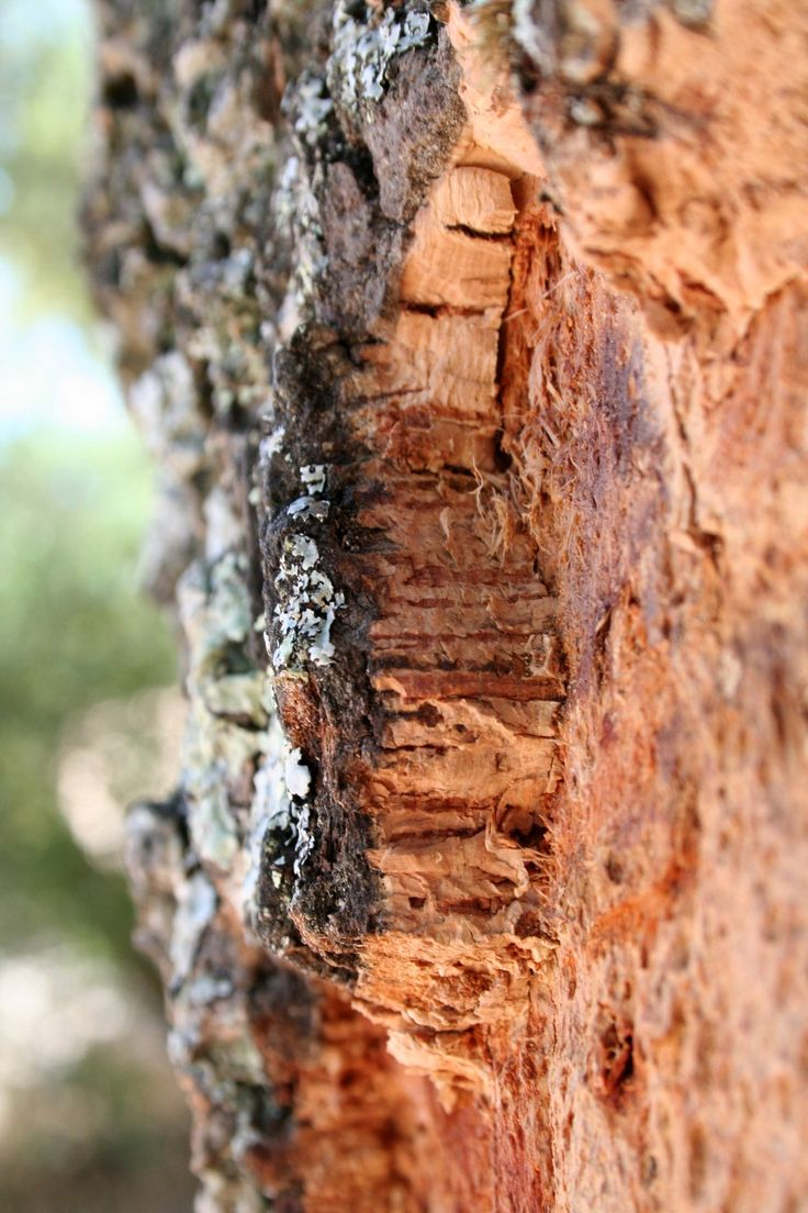 Quercus suber (Cork Oak) bark, Portugal by Sallyofmayflower: Cork production is considered sustainable due to the fact that only the bark is stripped and the tree continues to live and grow. Trees live for about 200 years and are stripped from their trunks every 9 years, starting when the tree is about 25 years old. http://en.wikipedia.org/wiki/Cork_(material) #Cork_Oak