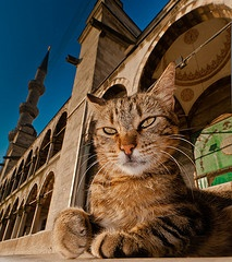 """If you're a cat lover, Istanbul is the pace to visit. The story goes that """"Many years ago a sultan decreed that the cats in Istanbul were to be protected because they ate rats and mice. The people were to feed them and not harm them. And even to this day, the people still obey the Sultan's order."""" Study abroad on CAPA International Education's Istanbul program and you're bound to see plenty of felines roaming the streets. Photo: Welcome to my mosque"""