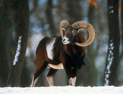 Vadászati lehetőség magyar vadászoknak! Vaddisznó vadászat, muflon vadászat. - Muflonvadászat