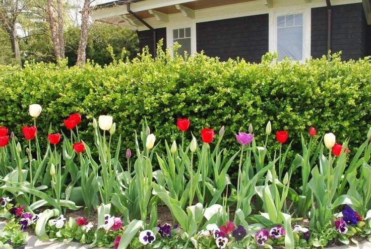 Tulpen Im Blumenbeet Und Veilchen Als Einfassung | Garten ... Einfassungspflanzen Gestaltungsideen