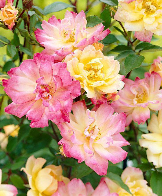 Bodembedekkende trosroos 'Baby Carnival'  Bodembedekkend roosje 'Baby Carnival' (Rosa polyantha) heeft heel veel kleinbloemige rozen met lange buigzame takken die de grond bedekken met een tapijt van tweekleurige bloemen. Deze bloemen beginnen geel maar worden steeds meer roze. Dat is een prachtig gezicht! Deze bodembedekkende trosroosjes 'Baby Carnival' (Rosa polyantha) vragen weinig verzorging en bloeien lang. Ook in potten en bakken doen de polyantharoosjes het uitstekend. Dat wordt…