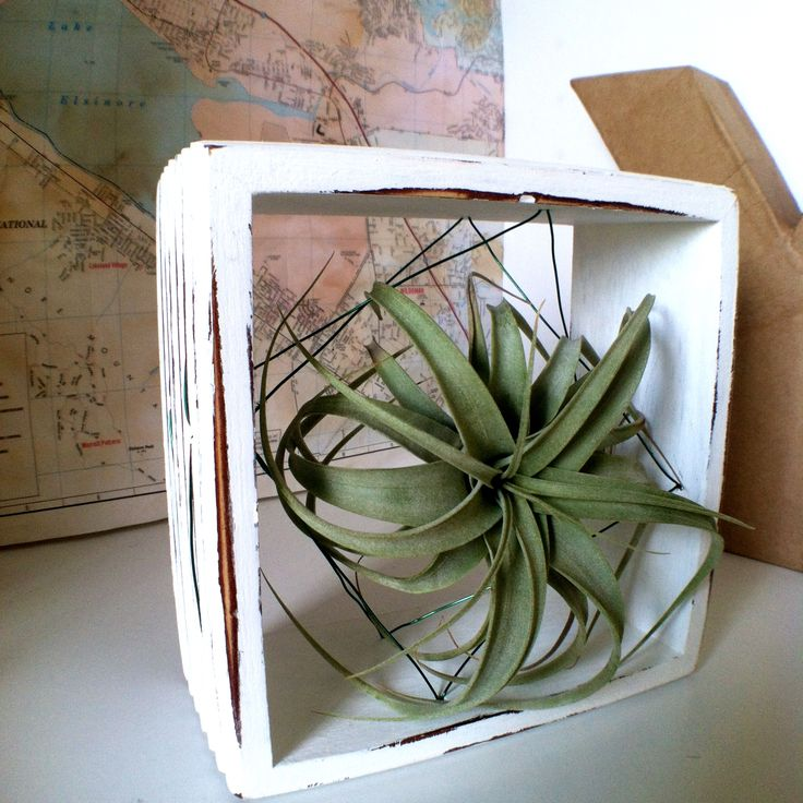 69 best tillandsia a k a air plant designs images on for Air plant art