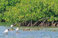 El manglar es un enclave arbóreo dentro de un sustrato blando influenciado por aguas salobres o marinas; es un ecosistema pródigo y generoso que ayuda a mantener buena parte de la red alimenticia estuarina y marina.