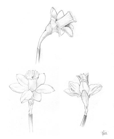 Daffodil Sketches