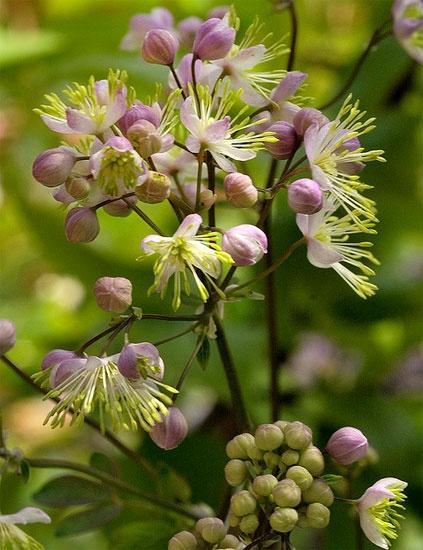 Aklejruta Anne (Thalictrum aquilegifolium) Läckra vita blommor i fluffiga vippor på höga, mörka stjälkar från en rosett med aklejliknande blad. Vackert blågröna blad. Trivs i soliga eller halvskuggiga rabatter med näringsrik och väldränerad jord. Blommar i juni-juli. Kan odlas i hela landet i skyddat och väldränerat läge. Höjd ca 150-200 cm.