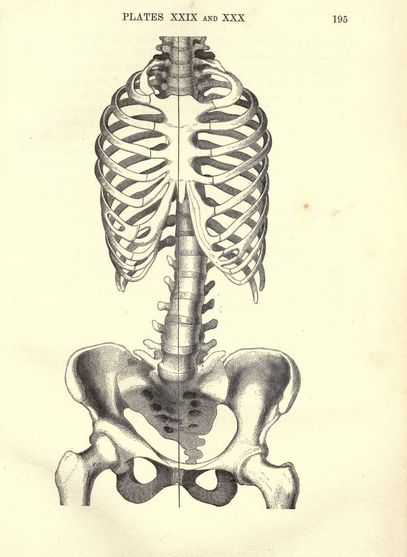 Female pelvis and ribcage. Something is a bit off, though.