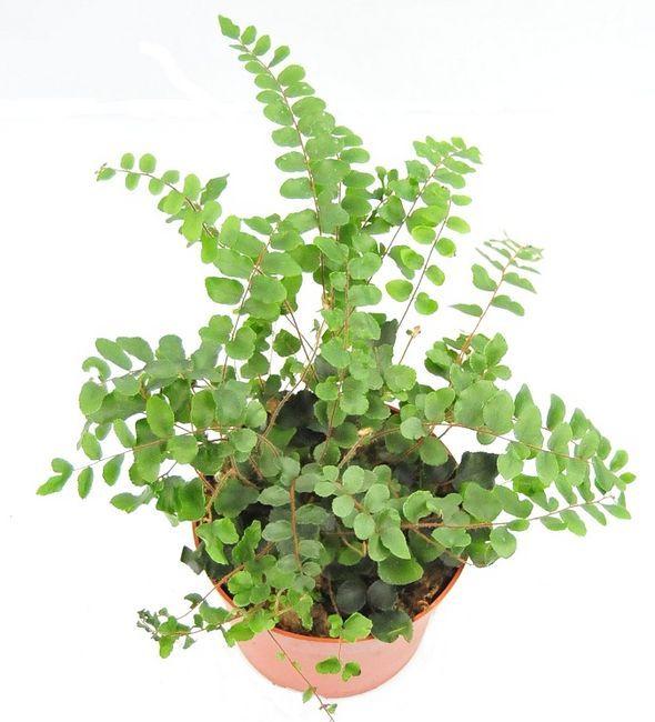 Cieniolubne Kwiaty Doniczkowe Galeria I Zdjecia Plants Herbs Design