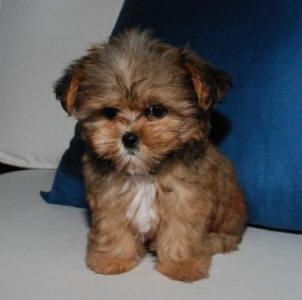 Shorkies are so CUTE!!  They don't shed, they don't bark, they don't listen!
