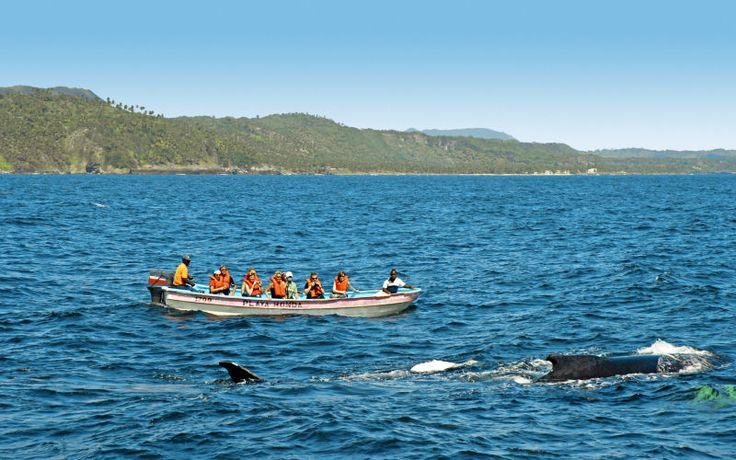 Følg med til Samanabugten og få den unikke mulighed for at opleve de imponerende pukkelhvaler, som holder til i området i januar-marts.  http://www.falklauritsen.dk/rejser/central-amerika/den-dominikanske-republik/puerto-plata/udflugter