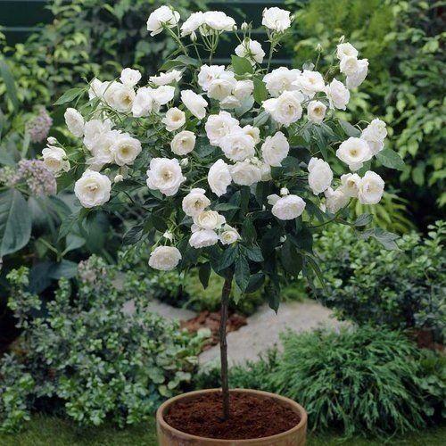 A Rosa Trepadeira de cor Branca produz belas flores de tamanho médio em cachos! Rosas trepadeiras são hibridas que foram desenvolvidas para função de trepadeira. Os galhos são mais flexíveis, mas as características da flor (beleza e perfume) se mantém. Seus ramos chegam a atingir mais de 6m de comprimento e ficam repletos de rosas. Florescem diversas vezes na primavera, verão e outono, dando um intervalo no inverno. Os ramos podem ser conduzidos, podados e moldados em formatos diversos sem…
