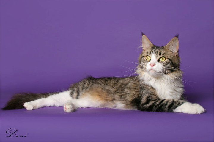 Maine Coon, Bicolour. SC Gentle Giants' Prada (n 03 24) photo by #Dani