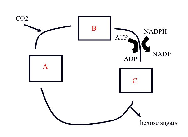 Light Independent Reactions Calvin Cycle