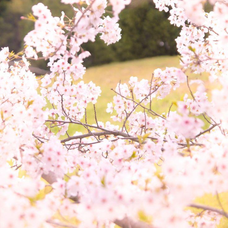 . 当社のまわりの桜も満開を迎えていますもう少し暖かくなれば嬉しいですね最近ピンクのアイテムも気になる今日この頃です . #mat_and_rugfactory  #マットアンドラグ #マットラグ #くらしにプラス #flower  #flowerstagram  #桜 #cherryblossom  #ピンク色  #insta_wakayama  #japan