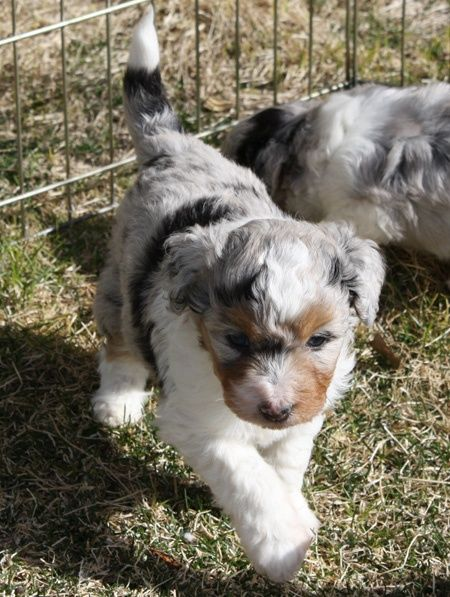 Azul Merle Aussiedoodle. Ranks right up there with the golden doodle for a dog choice when the time comes.