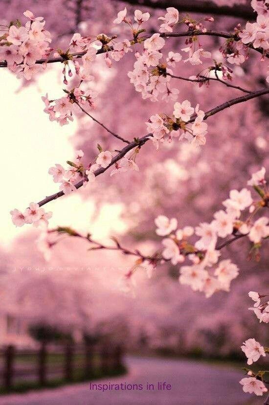 Cherry Blossom Lovely Blooms In 2018 Pinterest Flowers Cherry