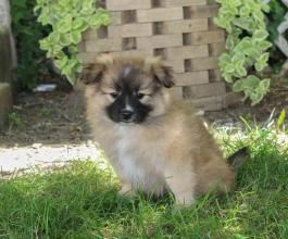 Pomeranian Mix Puppies for Sale | Lancaster Puppies
