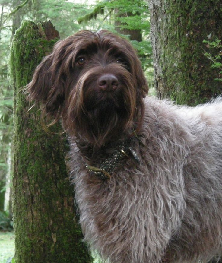Wirehaired pointing griffon puppies from ear mountain