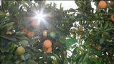 Potted Citrus