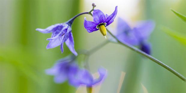 Extrakte des Nachtschattens helfen bei chronischen Ekzemen. Die Pflanze wird in der Volksheilkunde noch gegen viele andere Leiden eingesetzt.