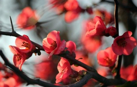 Red Blossom Flowers Background Wallpapers
