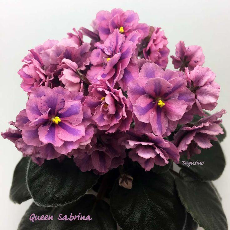 Queen Sabrina / Beautiful two toned saintpaulia.
