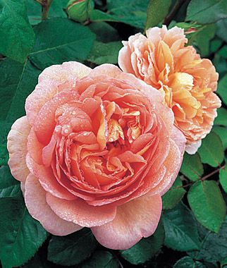 Abraham Darby...beautiful English Rose