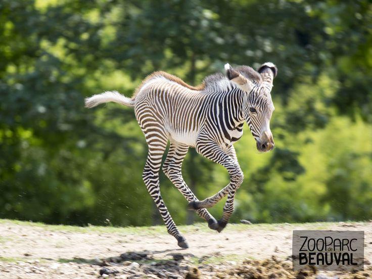Bébé #zèbre - ZooParc de Beauval