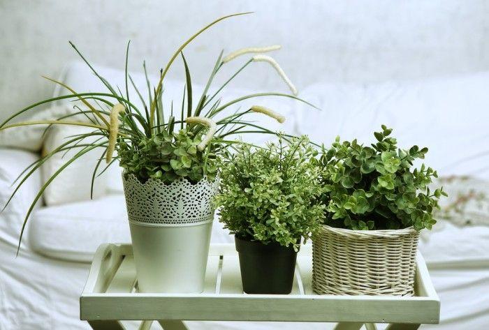 11 best dieffenbachia images on pinterest indoor plants gardening and indoor gardening - Elegant ways to display air plants in your home ...