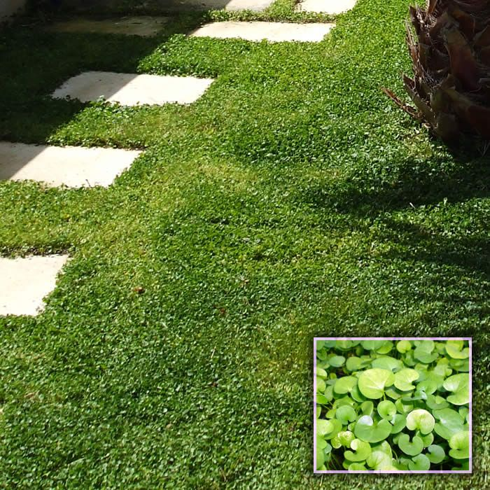 8 Best Images About Dichondra Ground Cover On Pinterest