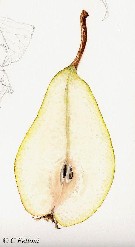le blog met en ligne des cours d u0026 39 aquarelle botanique  il parle de mon activit u00e9 d u0026 39 animation de