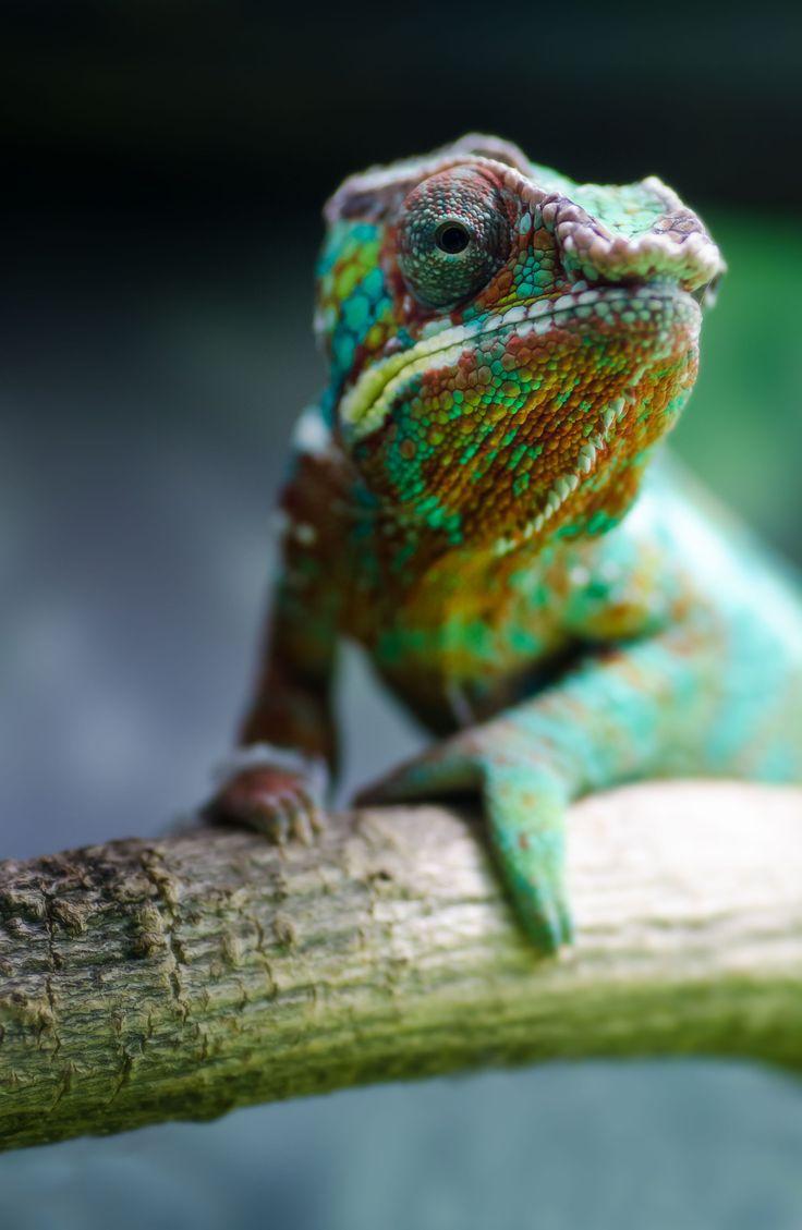 17 Best Images About Chameleon On Pinterest Madagascar