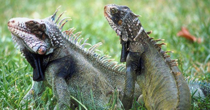 Las iguanas más grandes. Las iguanas viven en los bosques y las zonas rocosas del norte y sur de América. Ya que pertenecen al grupo de los reptiles, las iguanas poseen rasgos característicos, como escamas en el cuerpo, la capacidad de poner huevos y la ectotermia, la regulación del calor corporal dictada por el ambiente del animal. Al igual que otros lagartos, las ...