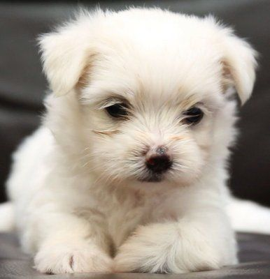 18 best cute white puppies images on Pinterest | White ...