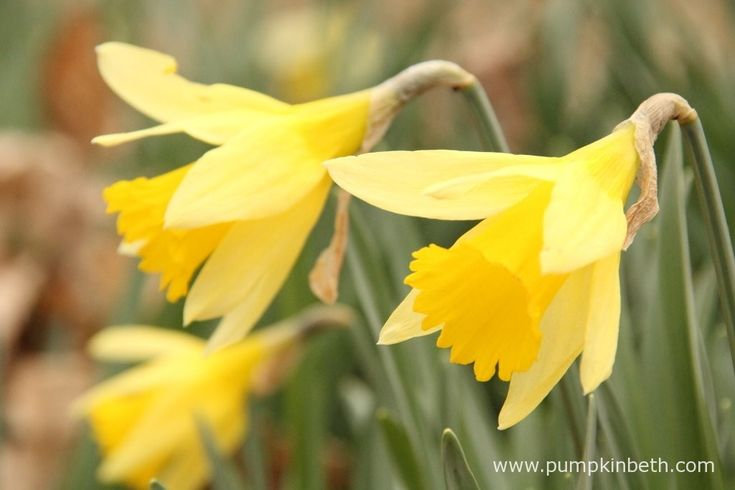 Daffodil Gardens and Events for 2016 | Pumpkin Beth