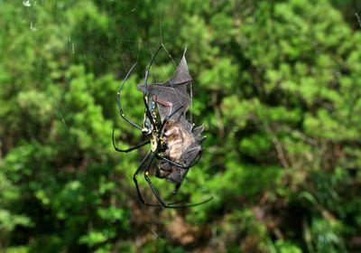 Bat-eating spiders