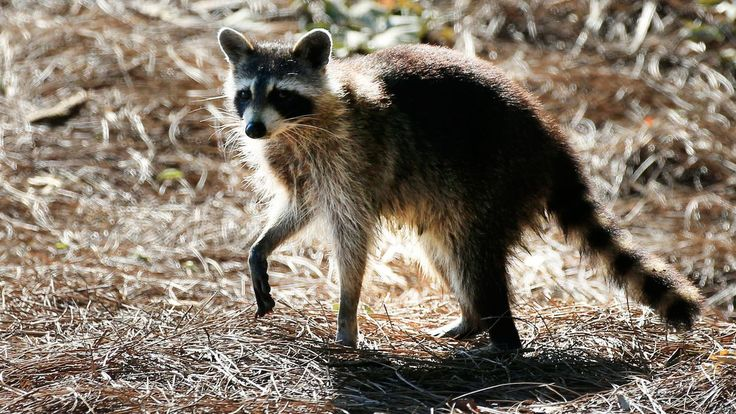 Raccoon hands are nature's most wonderful and terrifying appendages