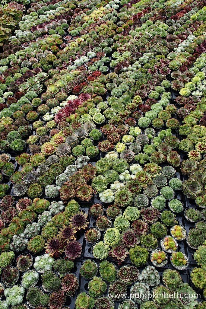 Sunray Plants are a specialist nursery selling Sempervivums and Restios. You can…