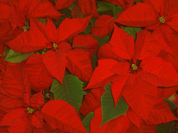 Do you want to donate a plant to wish a Merry Christmas?     Font:MorgueFile