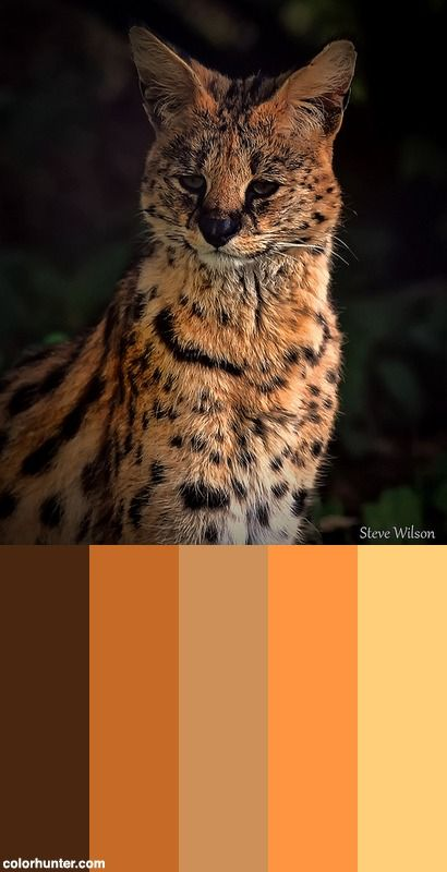 Serval At Chester Zoo (explore) Color Scheme