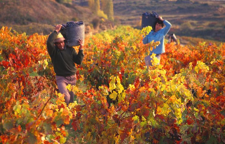 pictures of harvesting | Gourmand Breaks Food, Wine & Cultural Tours » Grape Harvests in Spain