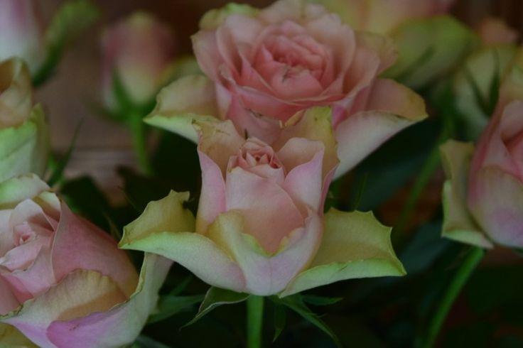 Vaaleanpunaiset ruusut