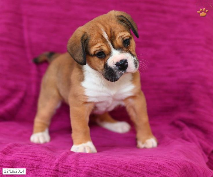 Beabull puppy for sale in pennsylvania beabull for Dog kennels for sale in pa