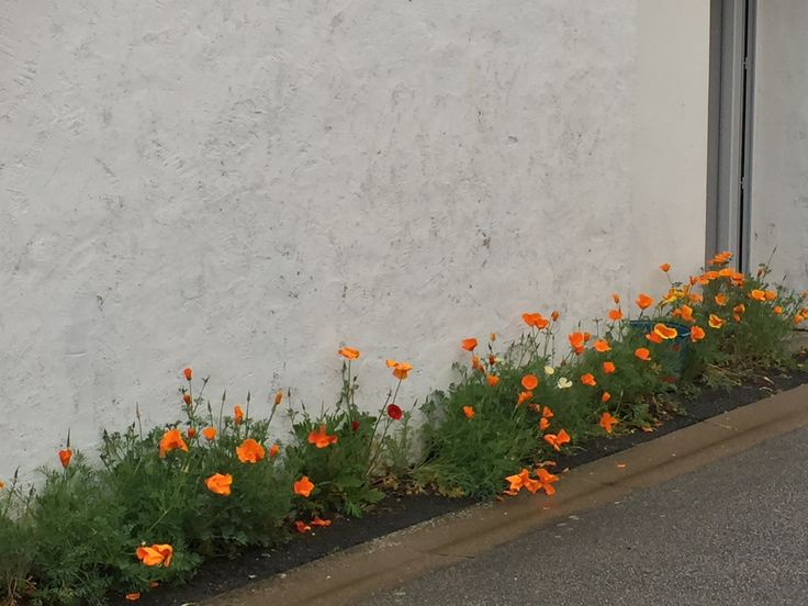 Wild poppies in France